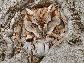 Photographer Ruffled Owl's Feathers By Waking It Up With The Sound Of Camera Shutter