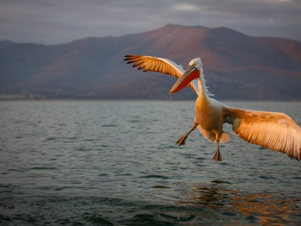 Photographer Spends Two Weeks Befriending 'Dalmatian Pelicans'To Get Incredible Close-Up Pictures Of Pre-Historic Looking Birds
