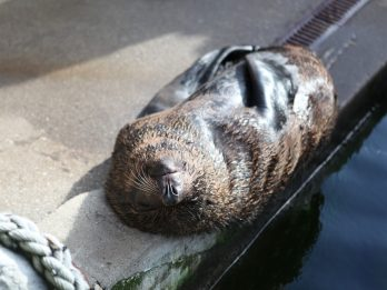 Lazy Seal Caught Snoring During His Afternoon Snooze