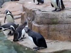 Penguins In Cornish Animal Sanctuary See Snow For The First Time In Adorable Video
