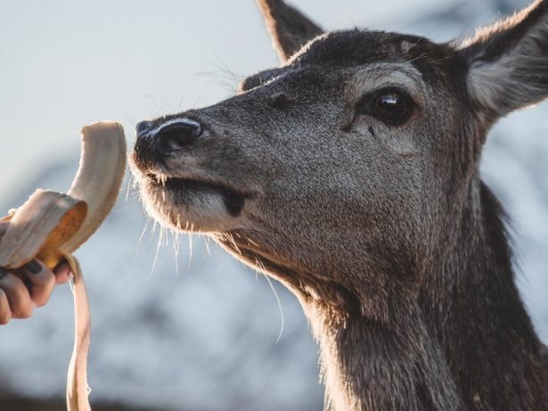 Wild Deer Eats BANANA Straight From Woman's Hand In Touching Display Of Affection