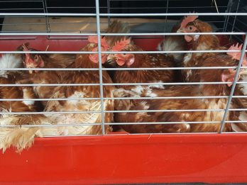12,000 Healthy-Laying Hens Needing To Be Re-Homed Being Sold For £1-Each