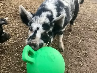 Animal Rights Campaigners In Race Against Time To Raise £3000 To Fund Life-Saving Treatment - For An Epileptic PIG