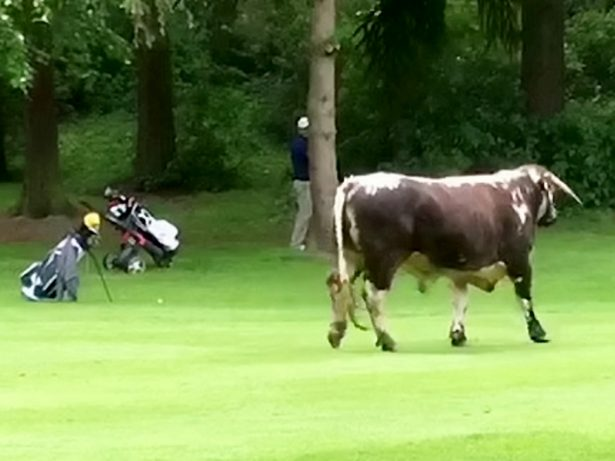 Footage shows father and son hiding from runaway bull after it charged onto golf course