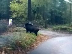 Massive Wild BOAR Spotted – Sparking Fears Britain's Booming Population Is Spreading