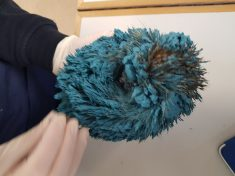 Real Life Sonic! – Hedgehog Covered In Blue Paint Rescued By RSPCA