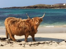 Highland Cow Enjoys Dip In The Ocean While Snacking On Seaweed At Picturesque Beach