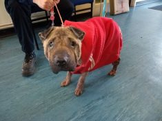 Badly Neglected Dog Wearing Adidas Jumper Found Tied To A Tree