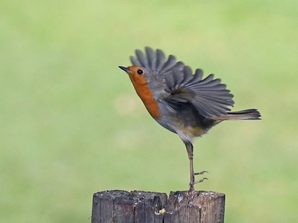 Robin Looks Just Like Ballerina As It Lifts Its Feathers To Take Flight