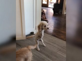 Double Amputee Dog Hops Around Happily On Its Hind Legs After Being Saved From Euthanasia