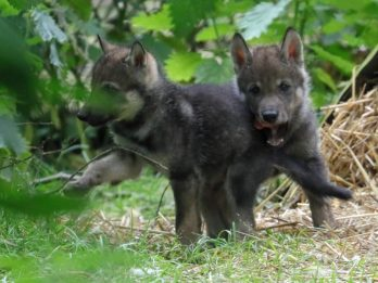 Pack Of Super Cute Wolf Pups Were Caught On Camera Bounding Around Their New Home