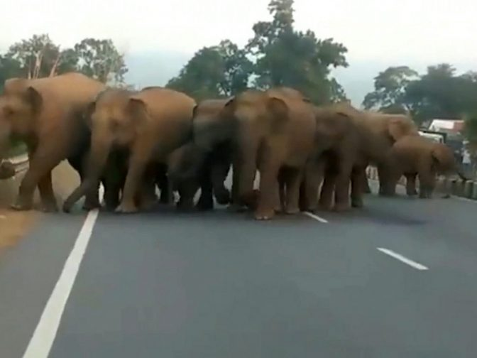 Motorway Traffic Brought To A Standstill After Herd Of ELEPHANTS Crossed The Road