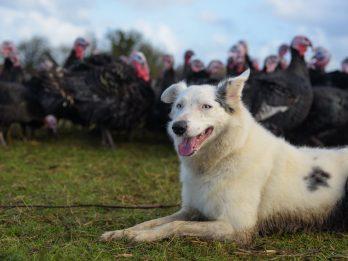 Barking Mad Border Collie Amazes Onlookers With Her Turkey-Herding Skills