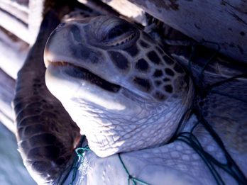 Tens Of Thousands Of Endangered Sea Turtles Are Being Caught And Killed Off South America's Pacific Coast