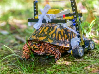 Turtle left with cracked shell in a hit-and-run on the road to recovery after being given a LEGO wheelchair