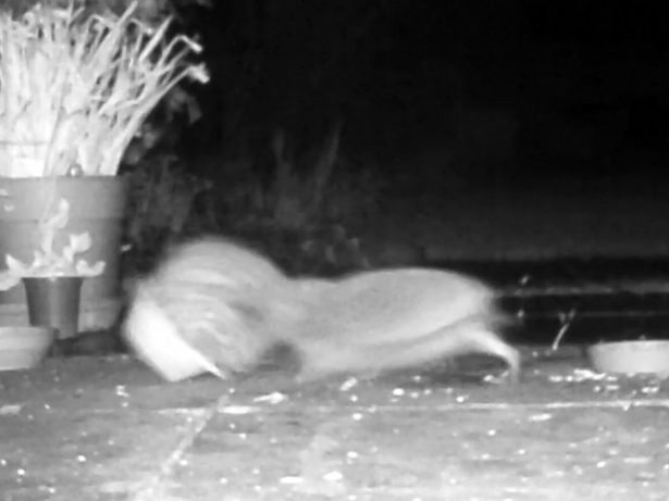 Boisterous Hedgehogs Fight After Hibernating For Five Months - And One Gets STUCK In A Bowl