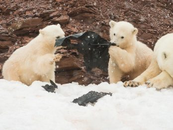 Depressing Pictures Show Polar Bear Cubs Playing With Plastic On Remote Arctic Island