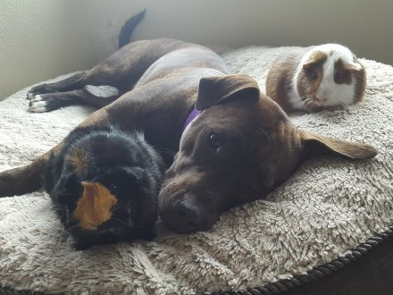 Unlikely Mates: Pitbull Rescued From The Streets Spends Her Nights Cuddling Her New Guinea Pig Siblings