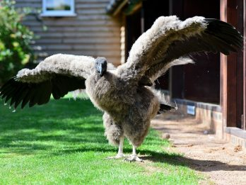 Endangered Baby Condor Being Hand-Reared At A British Conservation Centre