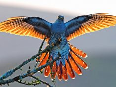 Amazing Picture Of The Rarely-Seen Cuckoo Stretching Its Wings As The Sun Sets
