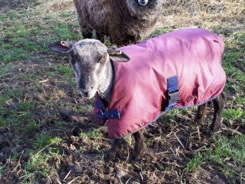 Family Devastated After Discovering Pet Lamb Was Stolen By Masked Thieves