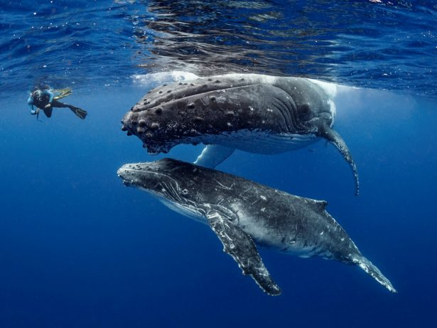 Stunning Underwater Images Taken By Brit Diver Show Humpback Whales With Young Calf In Tongan Waters