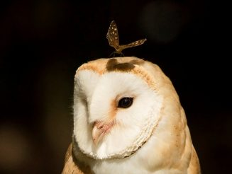 Perfectly Timed Photo Of A Butterfly - Sitting On Top Of Barn Owl's Head