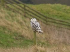 "Hundreds Of Twitchers Flock To See ""Extremely Rare"" Snowy Owl Land Thousands Of Miles From Home"