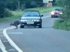 Escaped WALLABY Filmed Bouncing Alongside Shocked Motorists In Devon Is Reunited With Owner