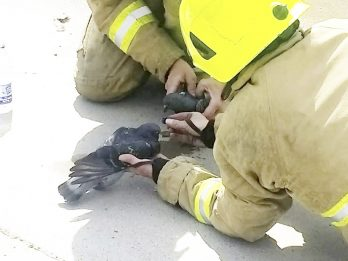 Firefighters Revive Pigeons Caught In Blaze