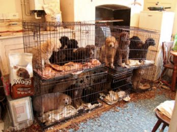 Woman Banned From Keeping Dogs After 27 Poodles Where Rescued From Squalid Conditions