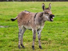 Britain's Second Ever Zonkey Born On Somerset Farm – Cross Between A Zebra And A Donkey!