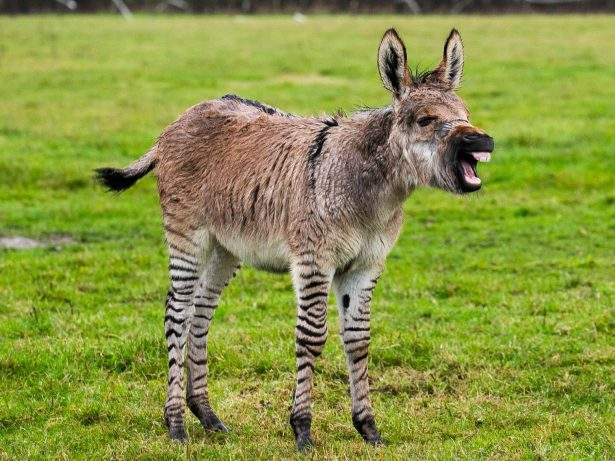 Britain's Second Ever Zonkey Born On Somerset Farm - Cross Between A Zebra And A Donkey!